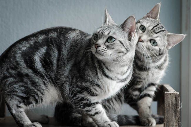 Two Bonded American Shorthairs