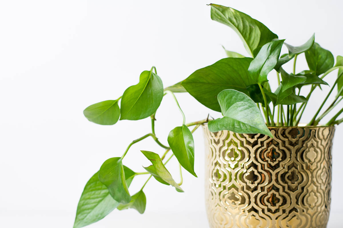 Is pothos toxic to cats?