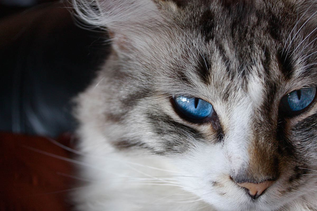 How to administer eye medication to a cat
