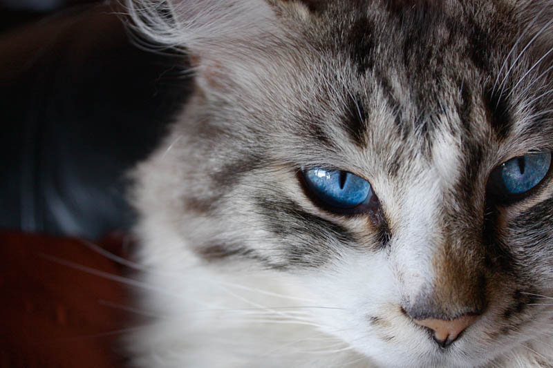 How to administer eye medication to cats