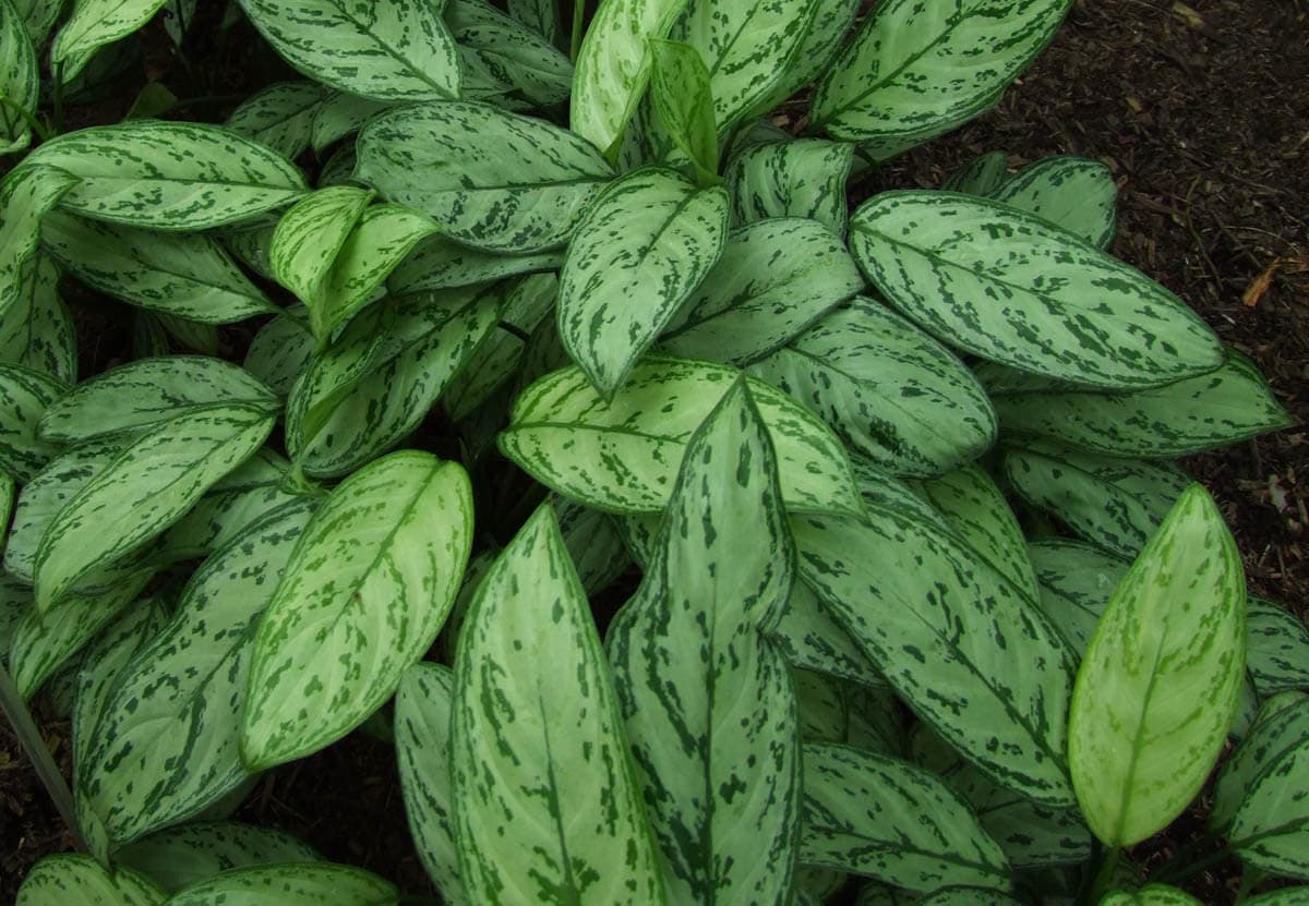 Is Chinese evergreen toxic to cats?
