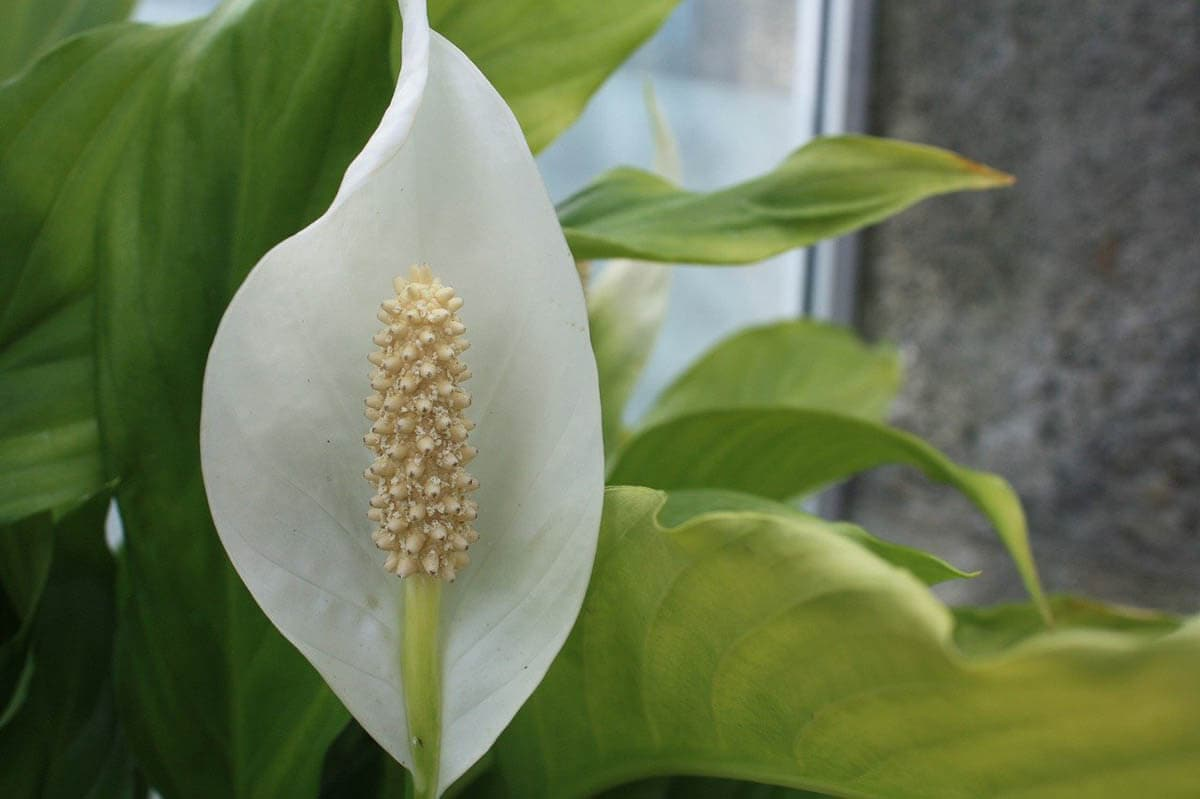 Is peace lily toxic to cats?