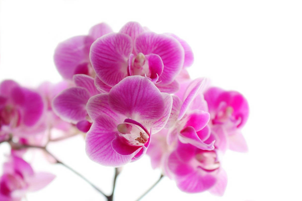 Are orchids toxic to cats?