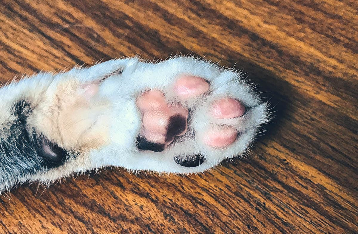 How Dirty Are A Cat's Paws?