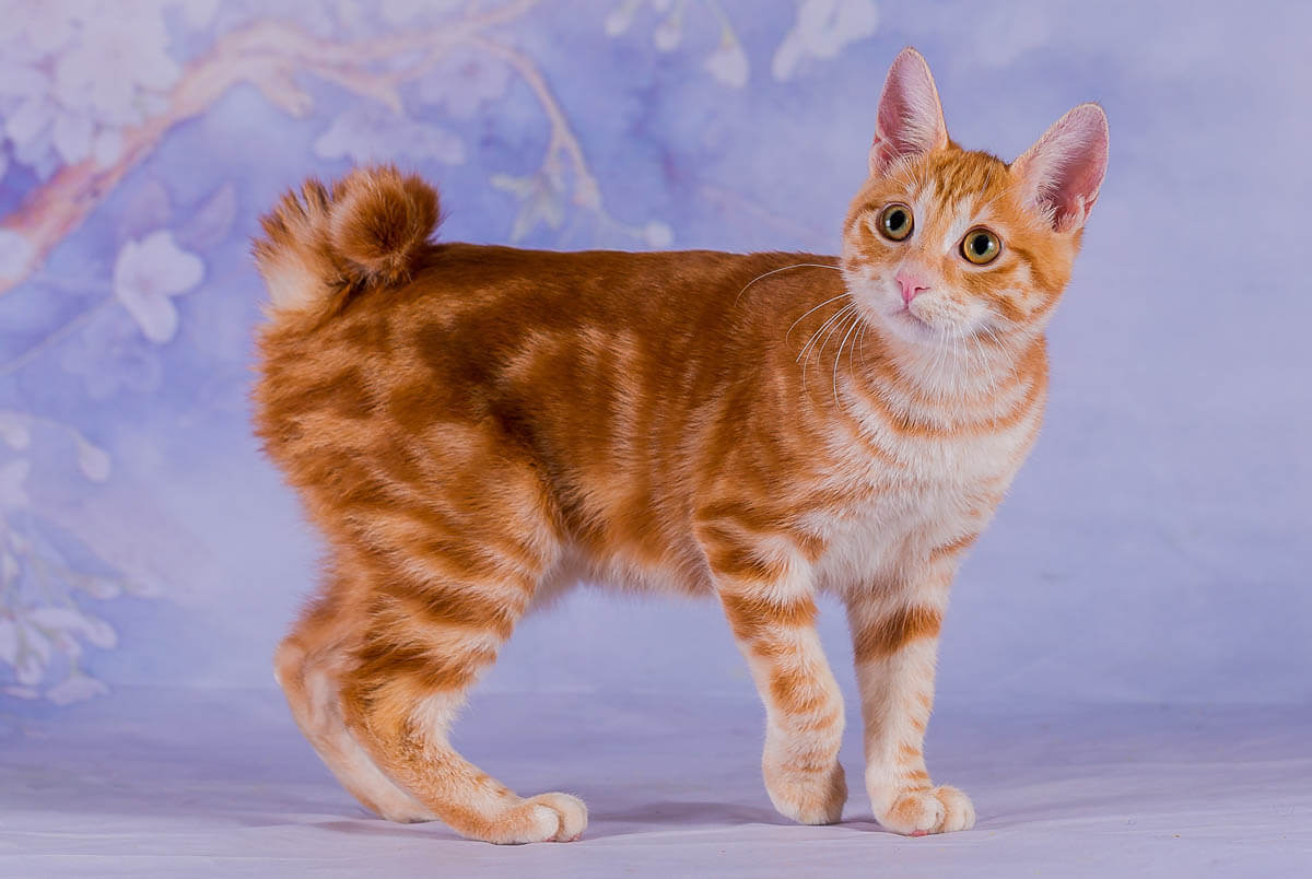 Cat Breeds from Asia 1