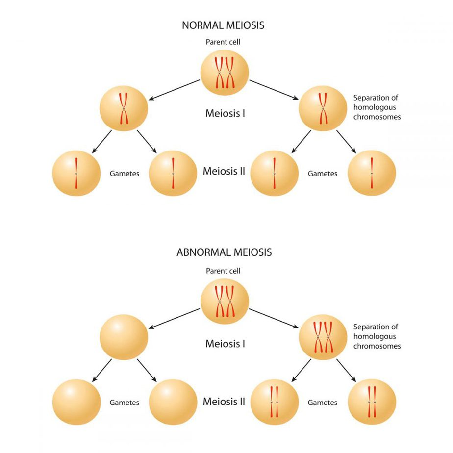 Normal meiosis