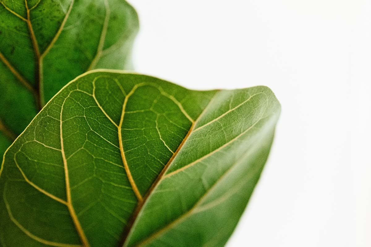 Is fiddle leaf fig toxic to cats?