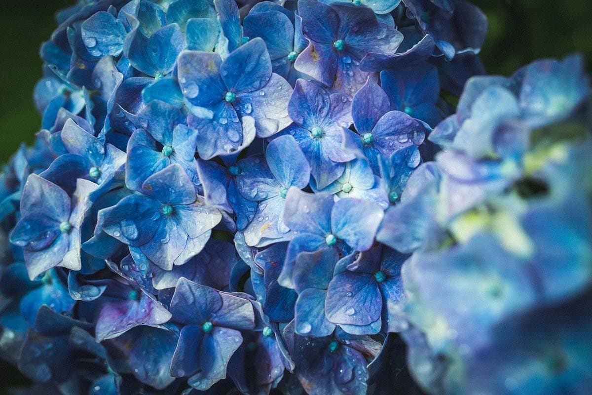 Is hydrangea toxic to cats?