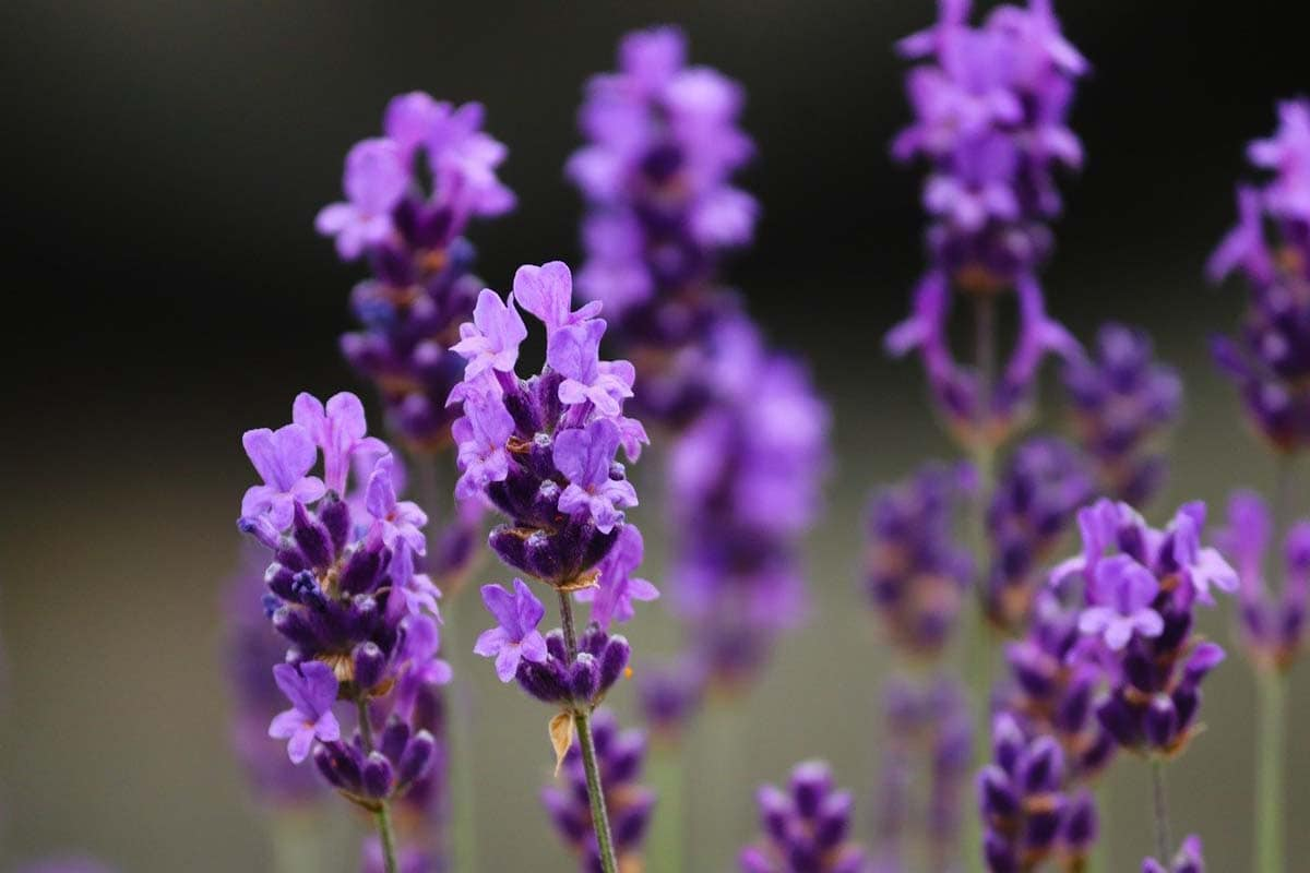 Is lavender toxic to cats?