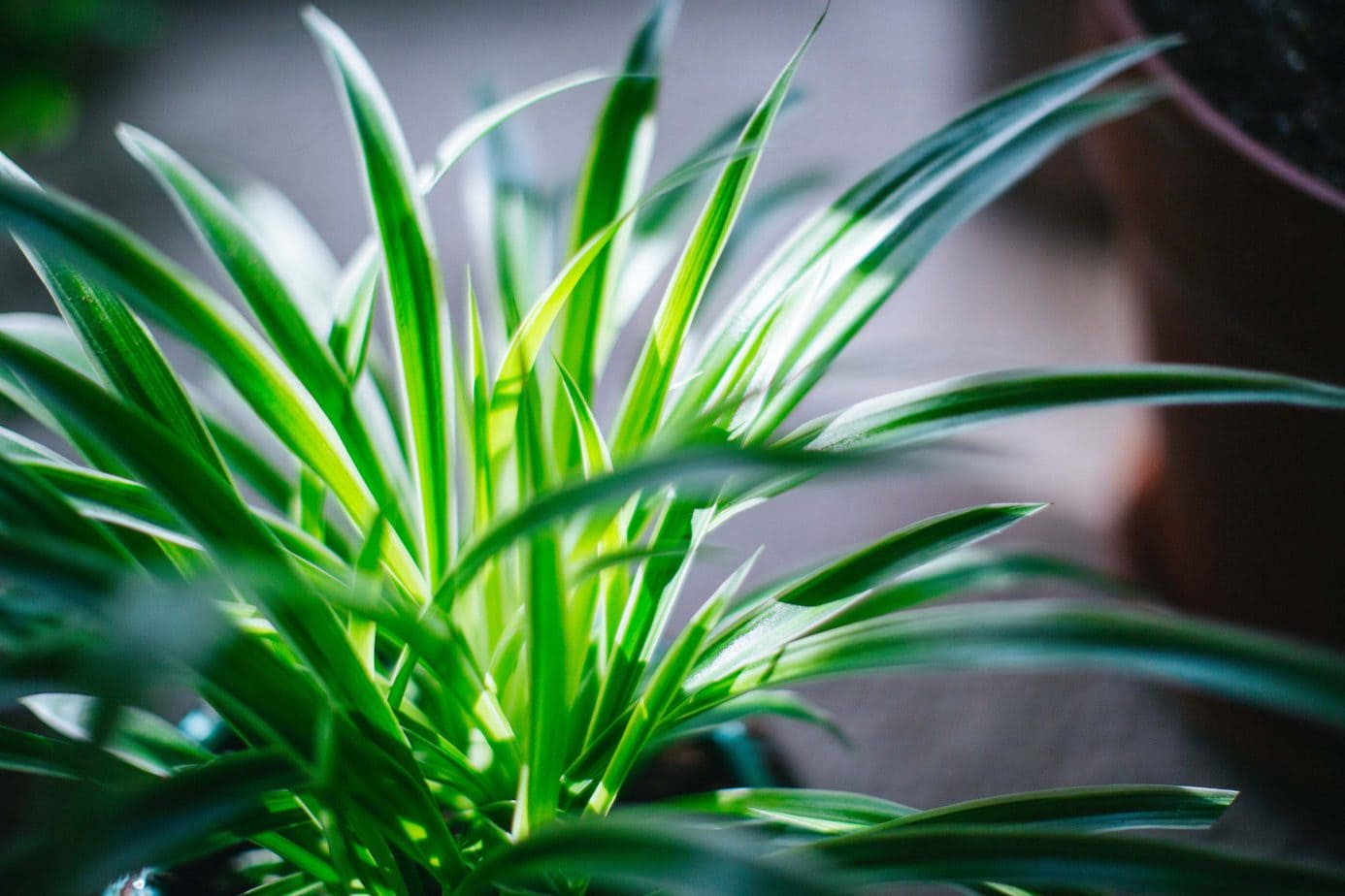 Is spider plant toxic to cats?