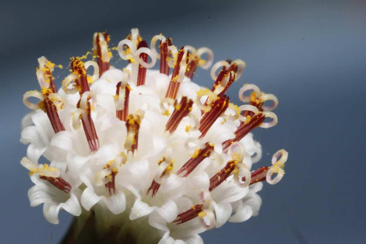 String of pearls flower