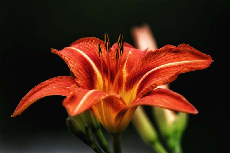 Are lilies toxic to cats?