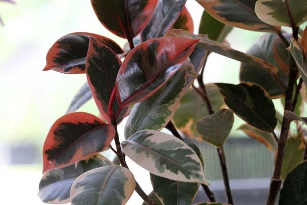 Ficus elastica (rubber plant)