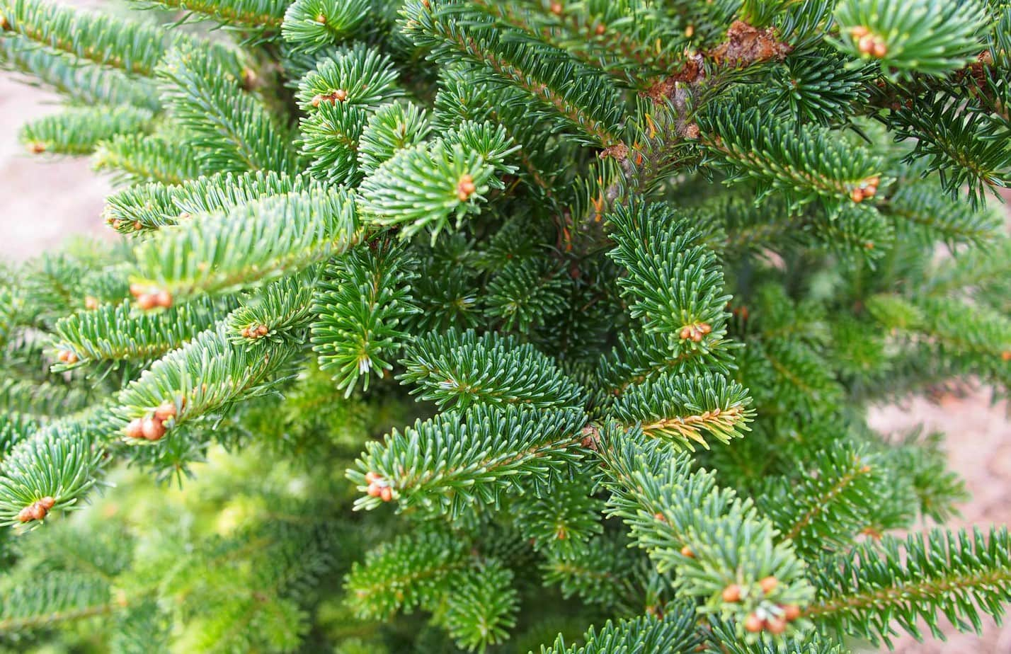Is Fraser fir toxic to cats?