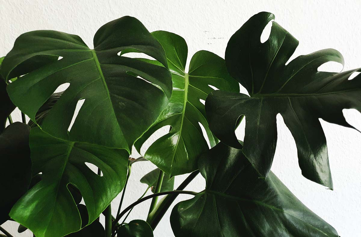 Is Monstera toxic to cats?
