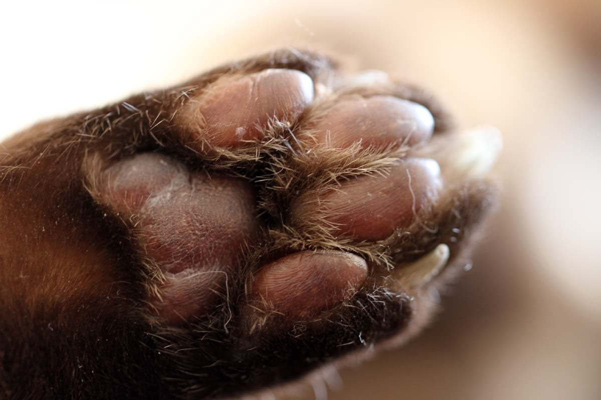 Plasma cell pododermatitis (pillow foot) in cats
