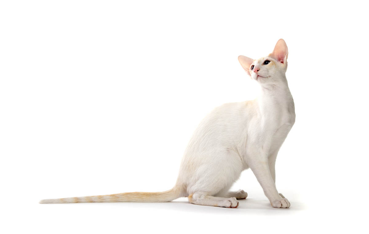 Flame point Siamese cats
