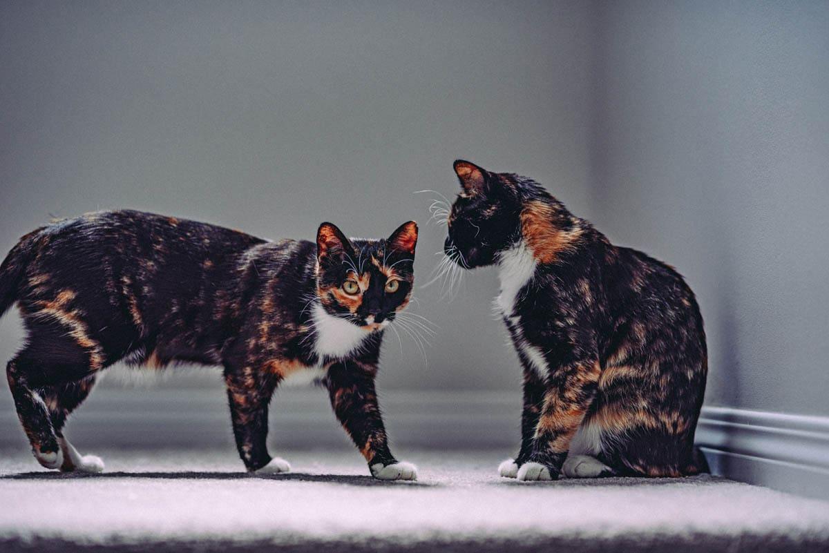 Glossary of feline terms