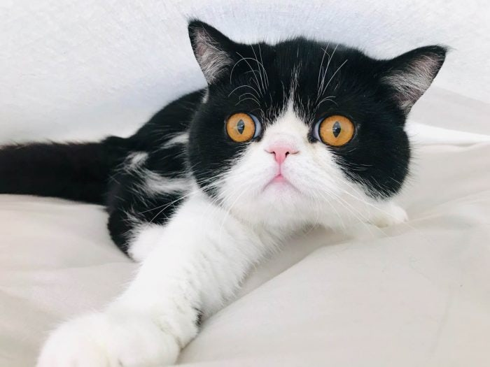 Tuxedo exotic cat