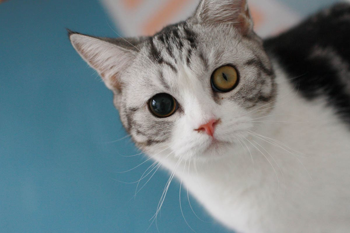 Anisocoria (odd-sized pupils) in cats