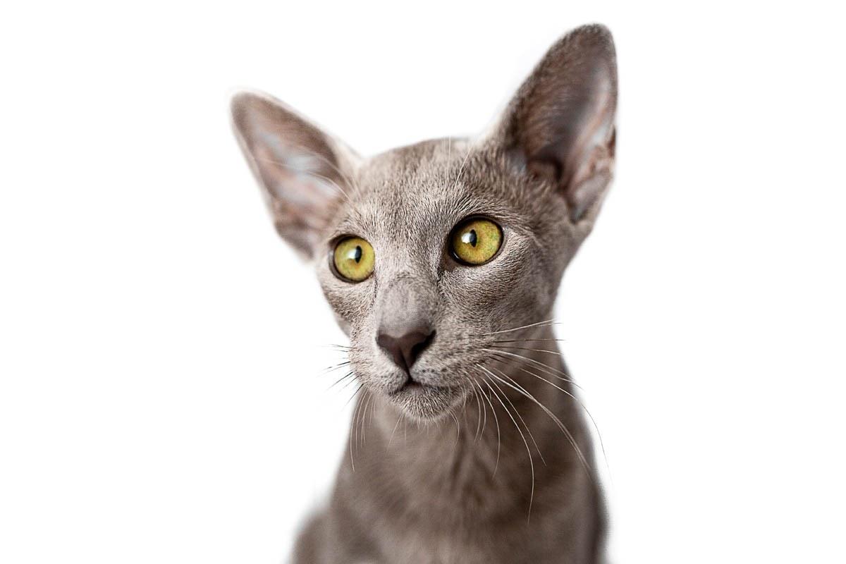 Grey Oriental cat