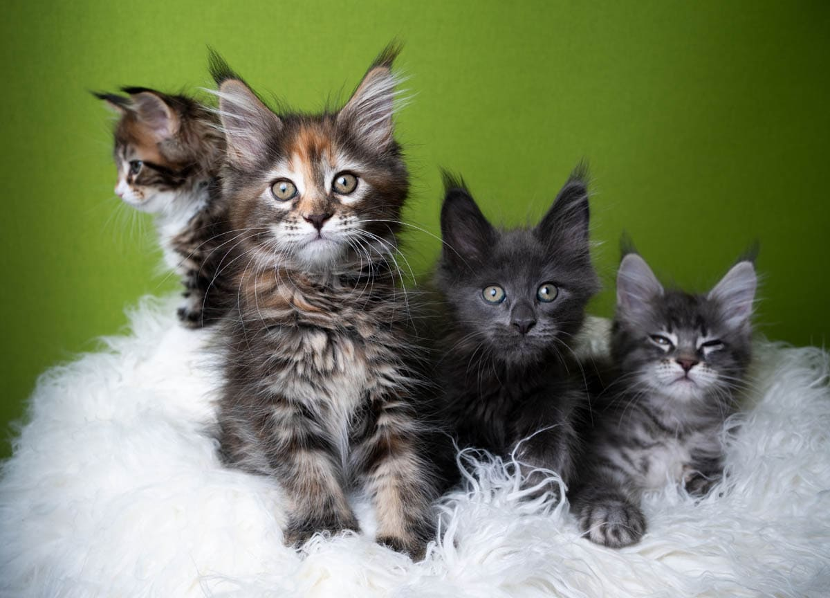 Litter of Maine Coon kittens