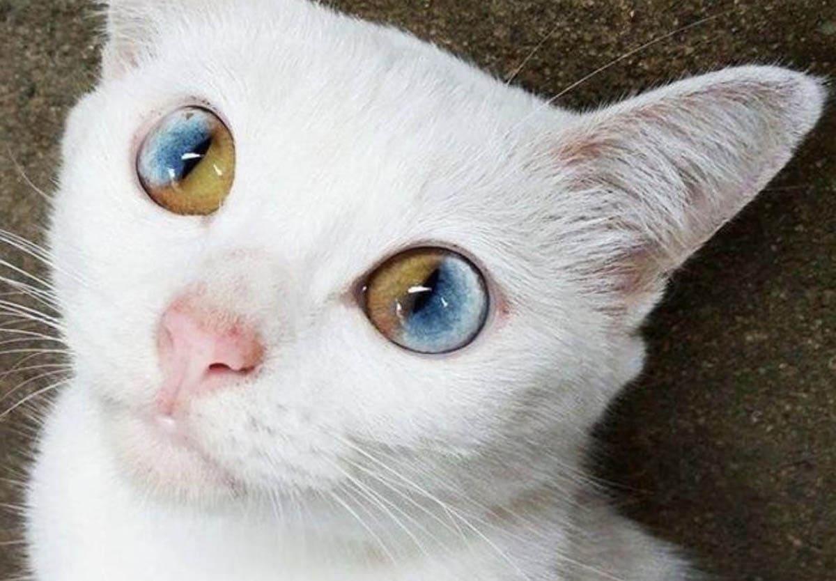 Odd eyed cat
