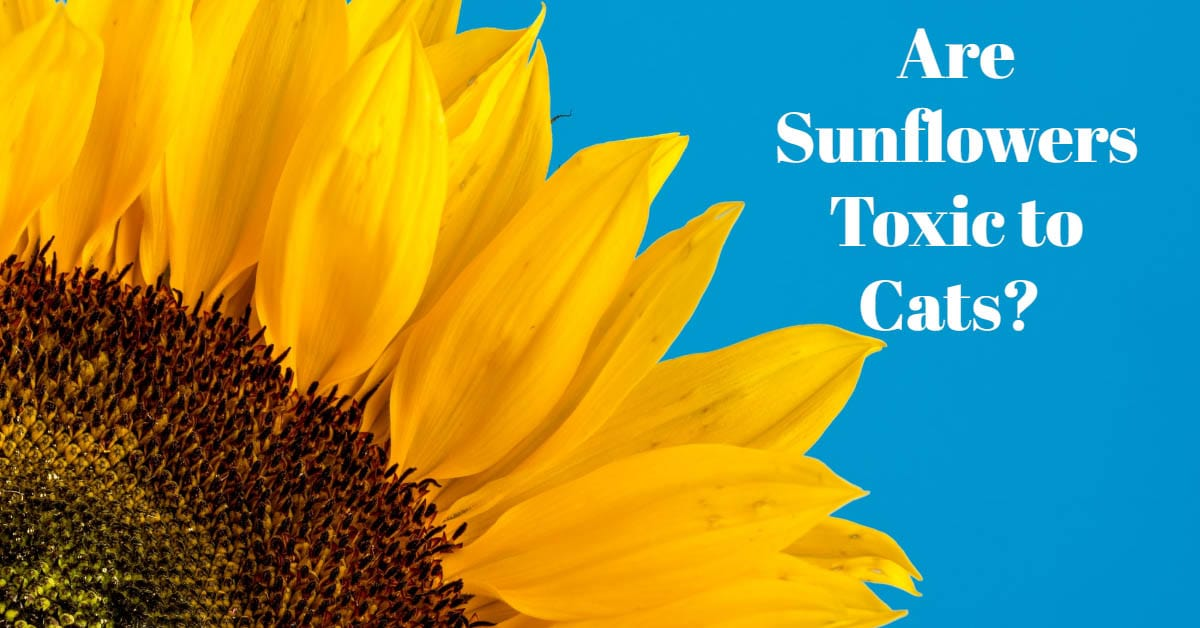 Are sunflowers toxic to cats?