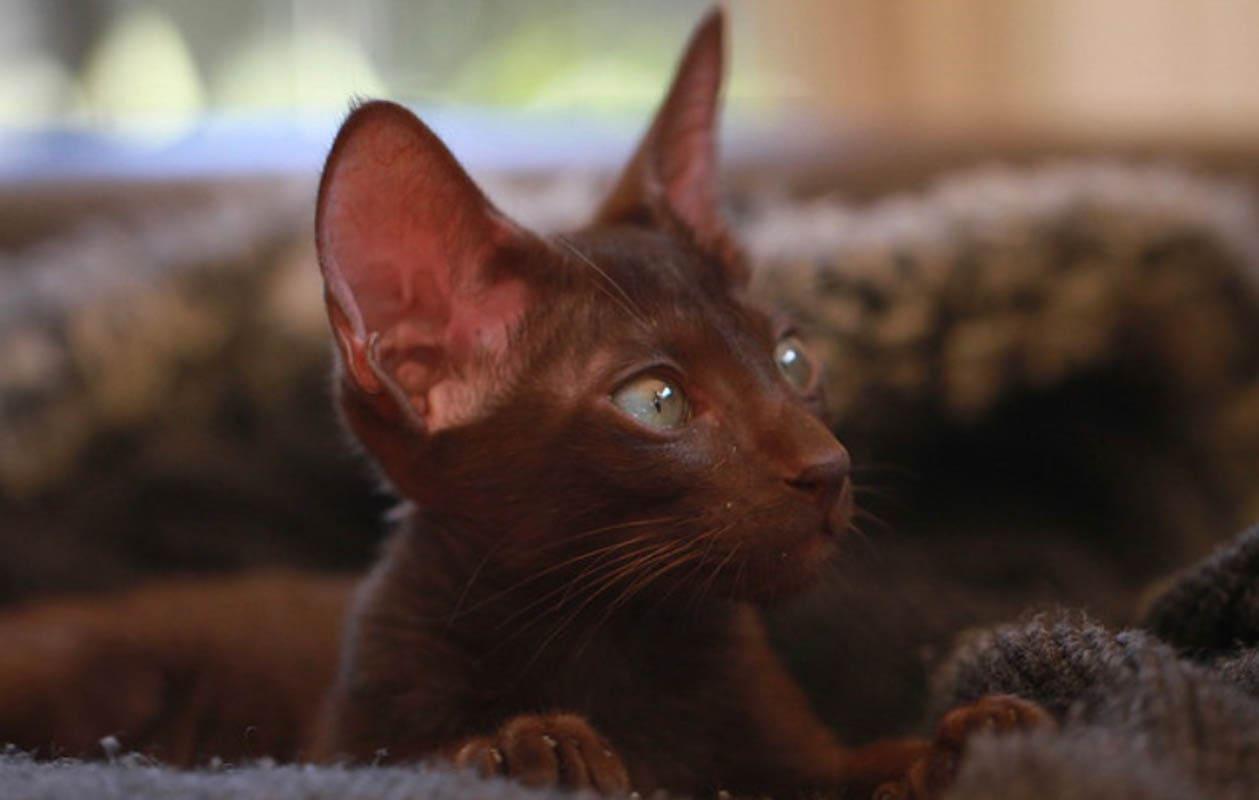 Chocolate oriental cat