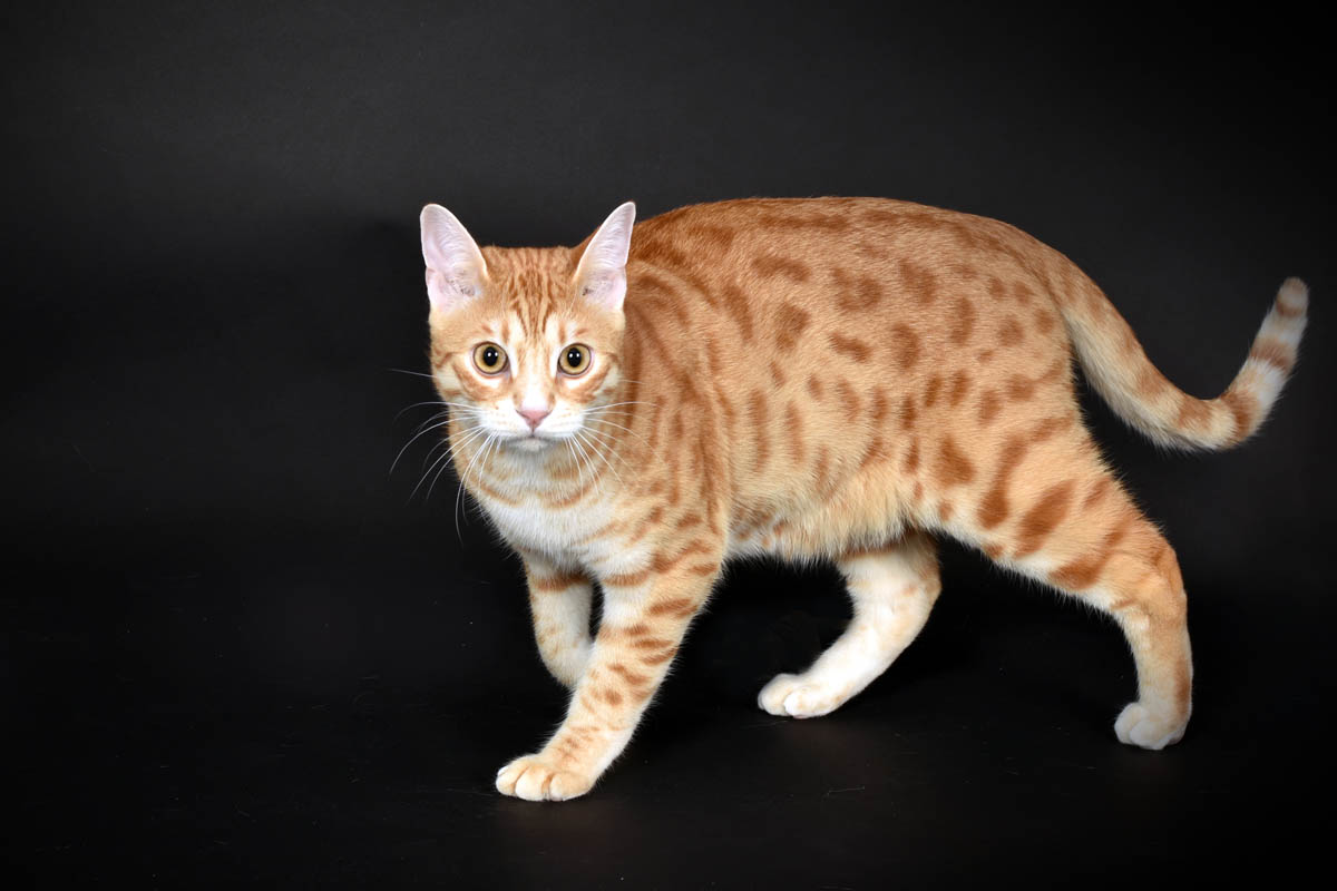 Spotted ginger cat