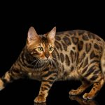 What is a Pedigree or Purebred Cat?