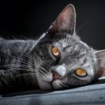 Body Condition Score For Cats