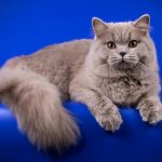 British Longhair Breed Profile