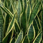 Is Snake Plant Toxic to Cats