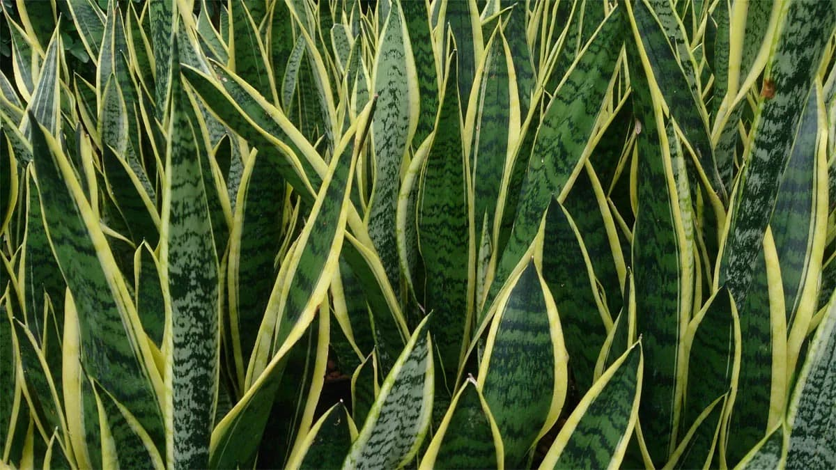 Is snake plant toxic to cats?