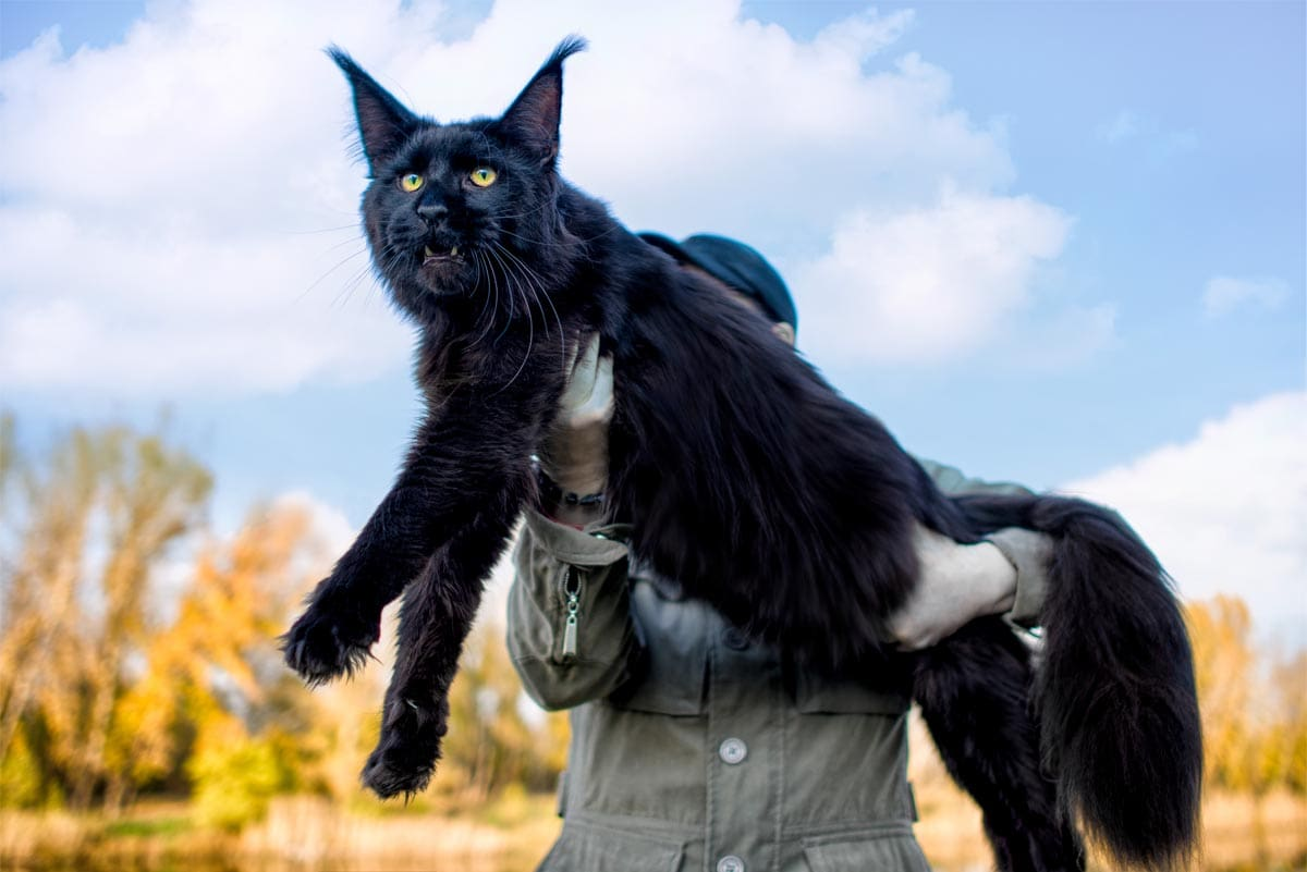 Maine Coon cat size