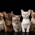 What Is a Registered Cat Breeder?