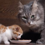 Can Adult Cats Eat Kitten Food?