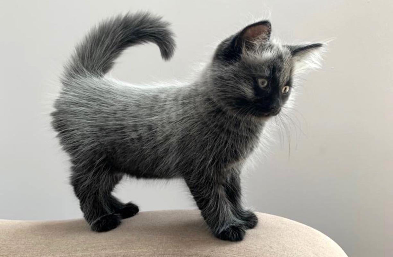 Fever coat in cats