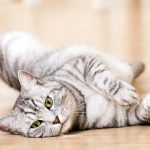 Grey Tabby Cats: Facts and Frequently Asked Questions
