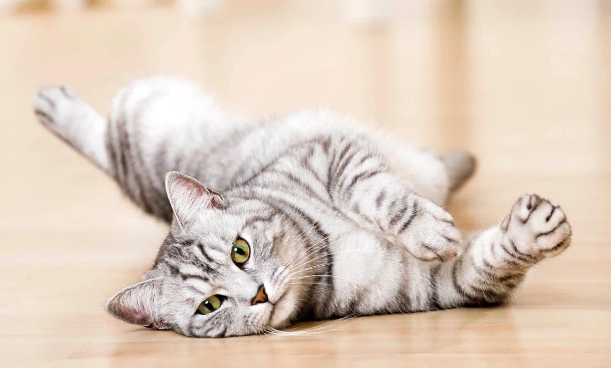 Grey tabby cats