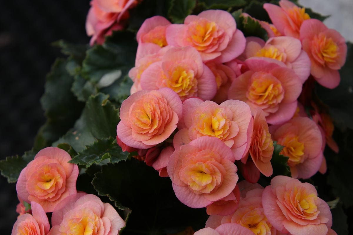 Is begonia toxic to cats?