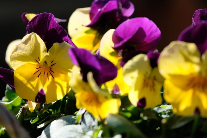 Pansy is non-toxic to cats