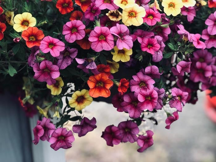 Petunias are non toxic to cats