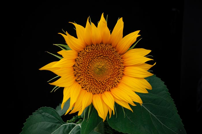 Sunflower is non toxic to cats
