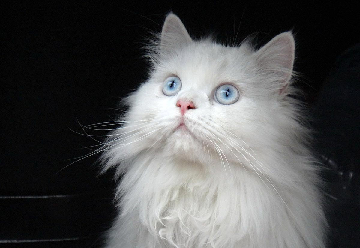 Deafness in white cats
