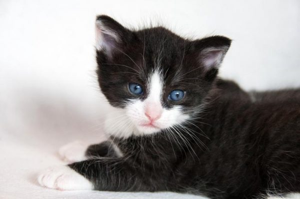 Ghost tabby markings on a black and white kitten
