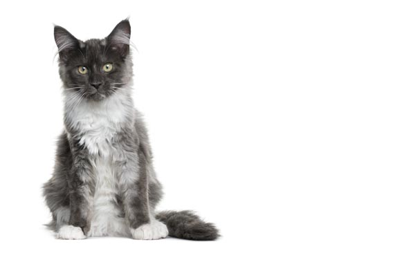 Grey and white Maine Coon