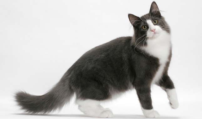 Blue and white Norwegian Forest Cat