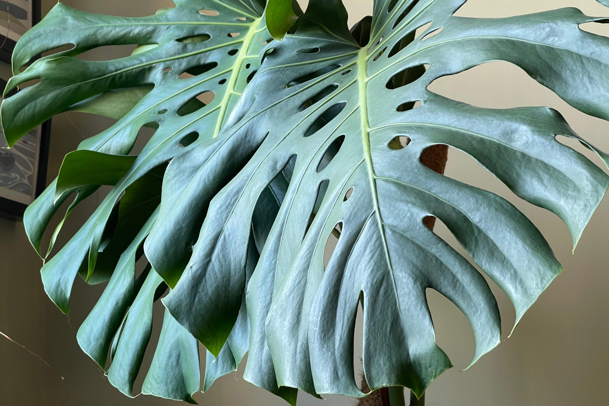 Is Monstera delicosa toxic to cats?
